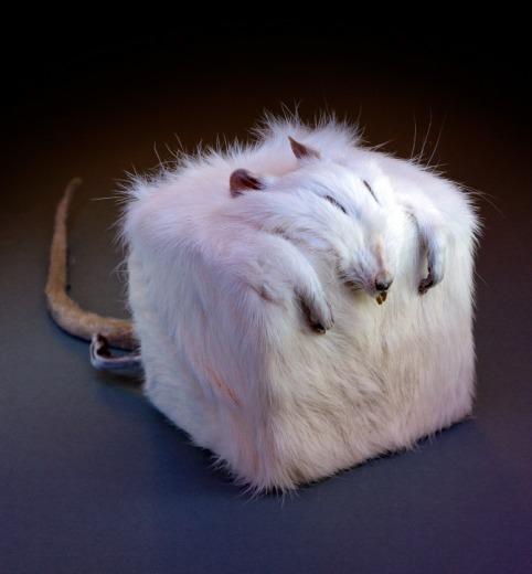 cube rat edelias