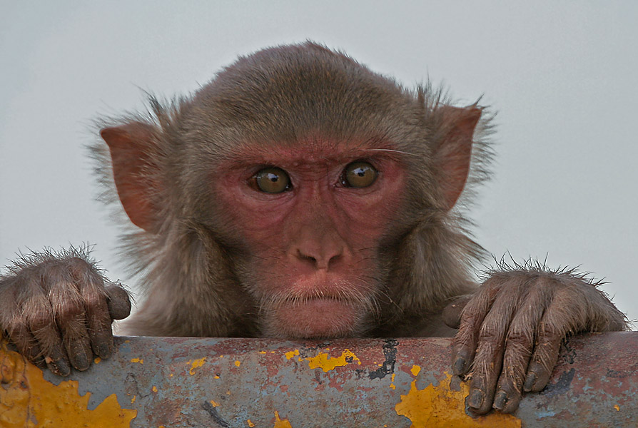 Hundreds of rare Rhesus monkeys in Florida are carrying herpes, Wildlife officials have told the media 2
