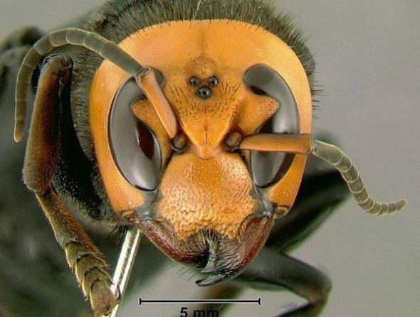 giant japnese hornet