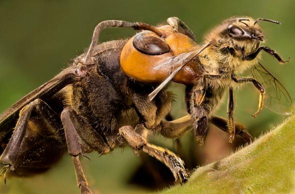 hornet killing honey bee