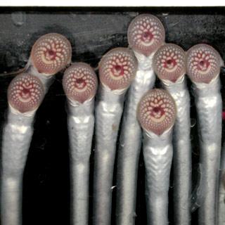 lampreys