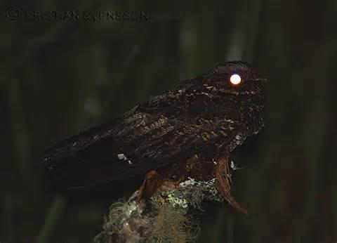 Satanic-Nightjar-11